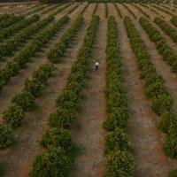 Citrus Plantation